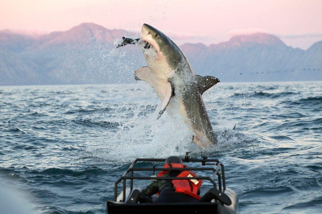 """Die Gewässer rund um Seal Island vor der Küste Südafrikas sind das Jagdrevier von """"Colossus"""", dem Riesenhai, der an der obersten Stelle der Nahrungs... - Bildquelle: Chris Fallows Discovery Channel"""