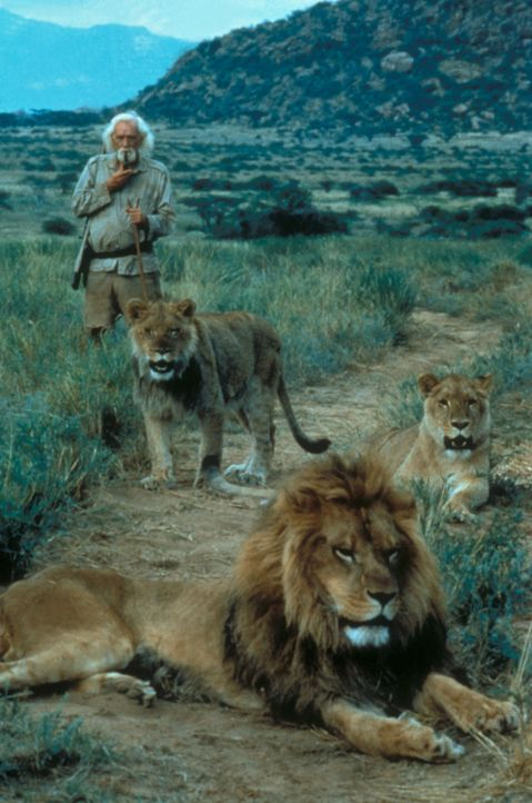 "Löwin Elsa und ""Herrchen"" George Adamson (Richard Harris) bilden ein Dreamteam ... - Bildquelle: Spartan Home Entertainment"