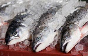 frischer Lachs - ganze Fische auf Eis gelagert