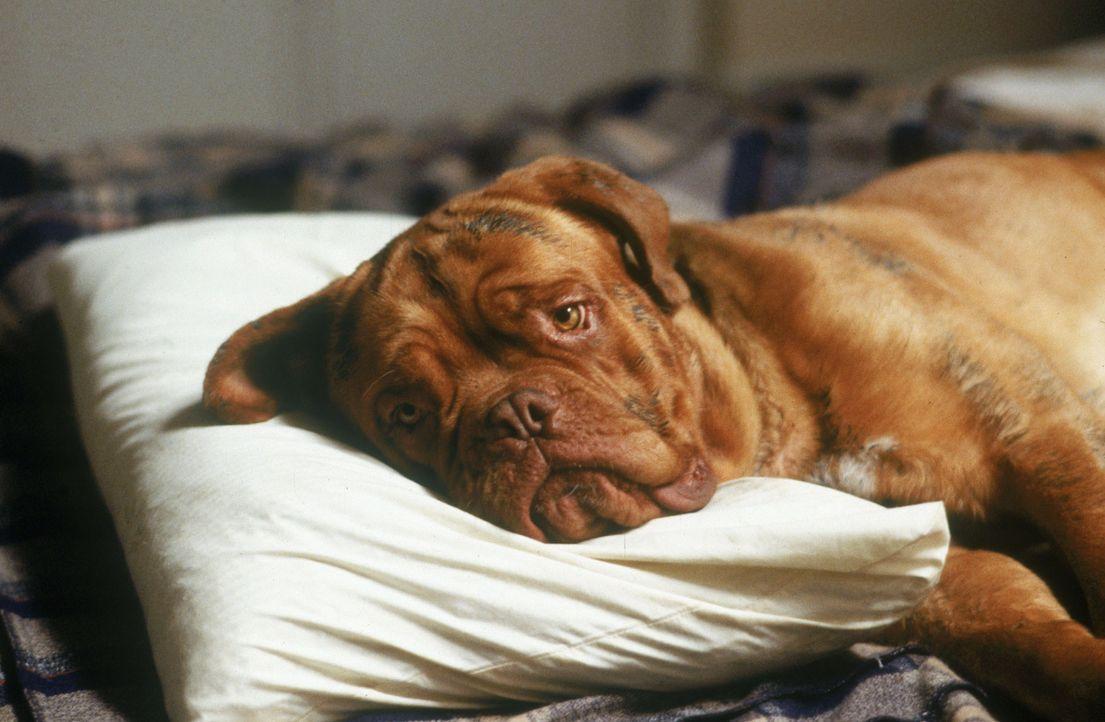 Der einzige Zeuge der Tat: Huutsch, eine sabbernde, dreckige Bordeaux-Dogge ... - Bildquelle: Touchstone Pictures