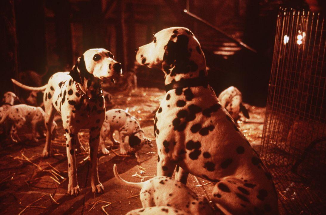 Hundevater Pongo (r.) und seine große Liebe Perdy (l.) müssen ihre Welpen vor der grausamen Mode-Designerin Cruella DeVil verstecken ... - Bildquelle: Buena Vista Pictures