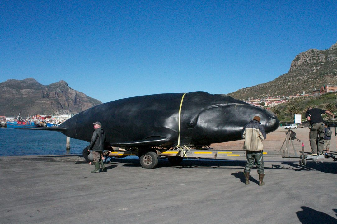 """Ein """"Fake-Hai"""" wird vom Forscherteam um den Meeresbiologen Collin Drake als Lockvogel eingesetzt. Wird es den Forschern gelingen, damit den echten R... - Bildquelle: Brian Girard / Kris Olson Discovery Channel"""