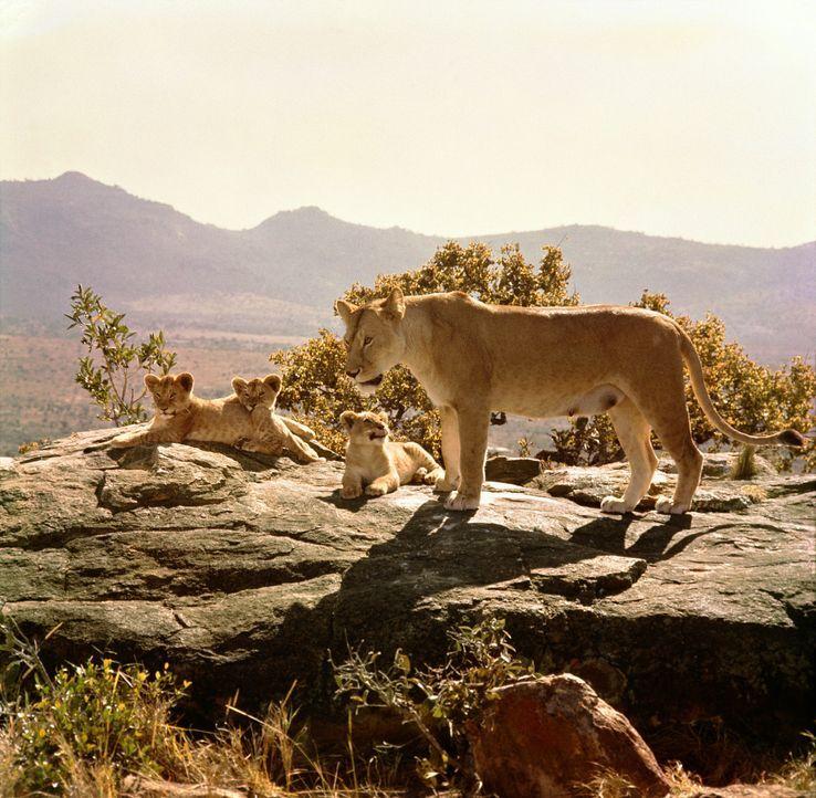 Wildhüter George Adamson zieht zusammen mit seiner Frau Joy drei Löwenbabys mit der Flasche groß. Nach und nach jedoch sehen sie die Notwendigkei... - Bildquelle: 1965, renewed 1993 Columbia Pictures Industries, Inc. All Rights Reserved.