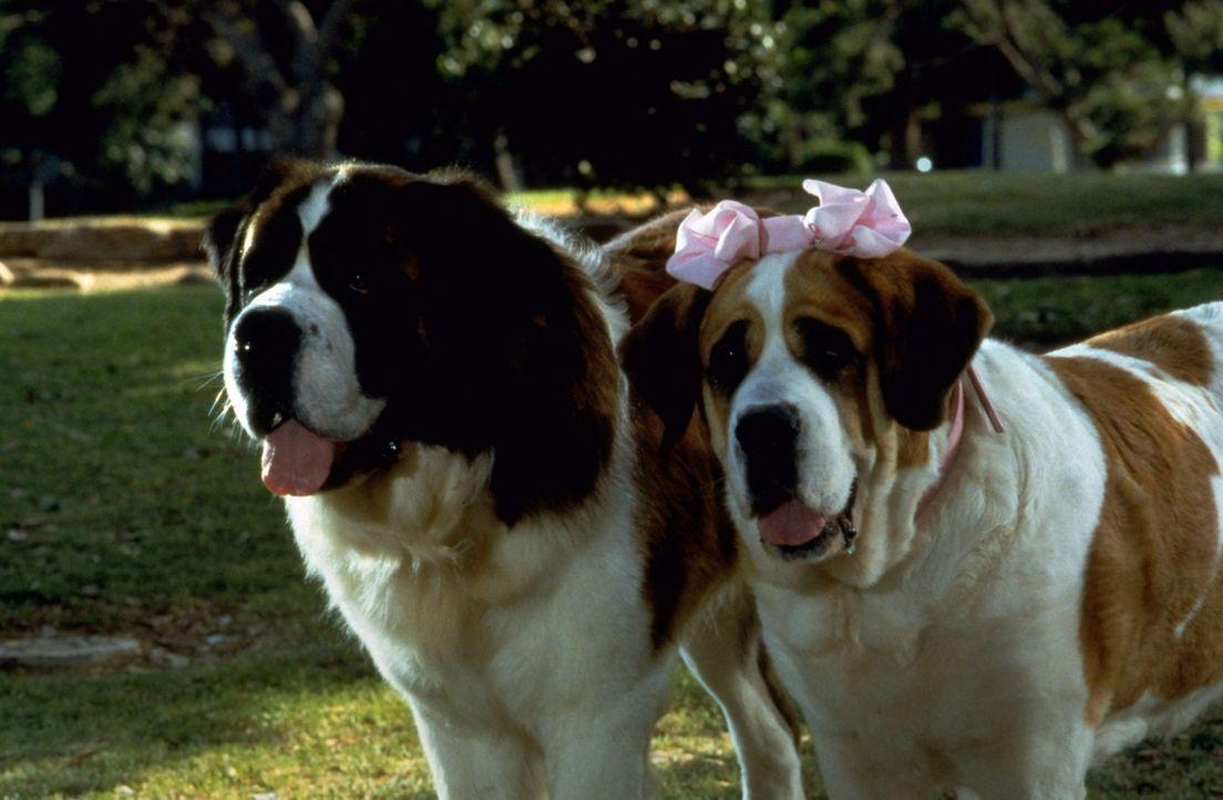 Weil Hund Beethoven von den Newtons vernachlässigt wird, reißt er kurzerhand aus. Auf Futtersuche trifft er auf die Bernhardinerdame Missy, die auch... - Bildquelle: Universal Pictures