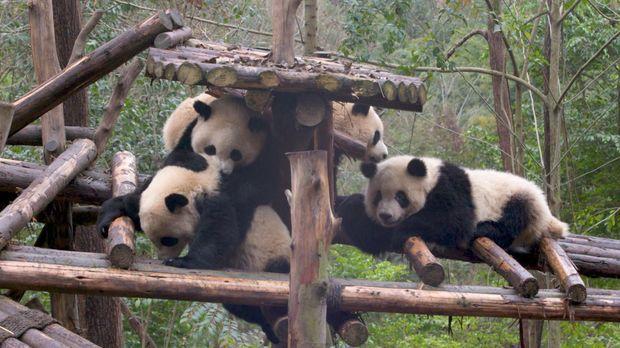 Abenteuer Leben - Abenteuer Leben - Mittwoch: Kuschelalarm: Panda-zuchtstation Chengdu