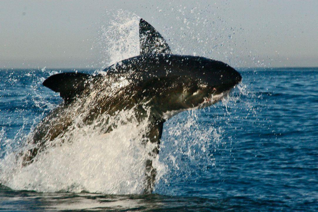Die Gewässer vor der Küste Südafrikas wimmeln von aufregenden Tieren. Zu diesen spektakulären Lebewesen gehört zweifellos auch der legendäre Weiße H... - Bildquelle: Morne Hardenberg MORNE HARDENBERG