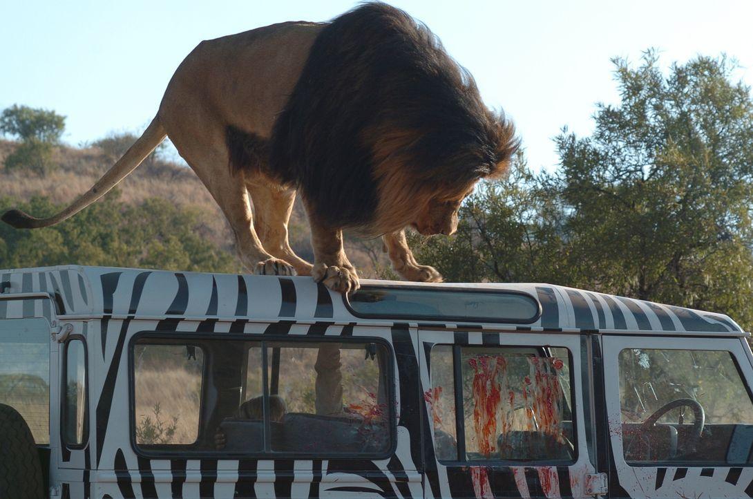 In der Wildnis Tansanias gerät eine kleine Familie zwischen ein Rudel überaus hungriger Löwen, das alles angreift, was sich bewegt ...