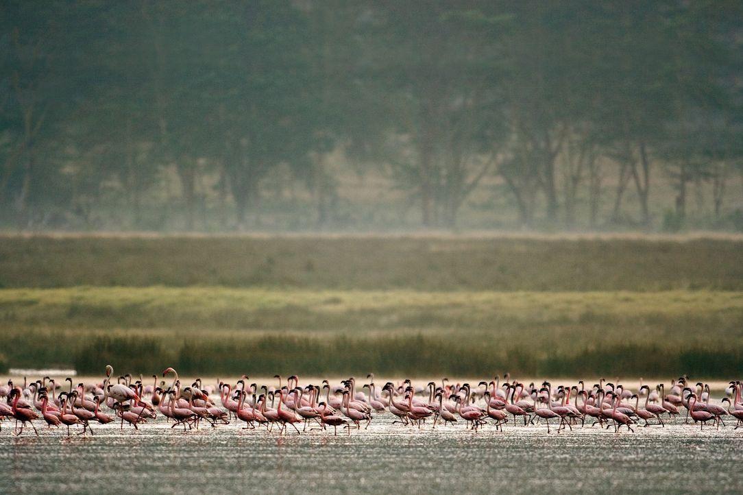 Im Norden Tansanias, am Lake Natron, leben sie, die purpurnen Flamingos, die man meist nur aus Zoos kennt. Ein Filmteam begleitet Millionen von ihne... - Bildquelle: Disney Enterprises, Inc.  All rights reserved.