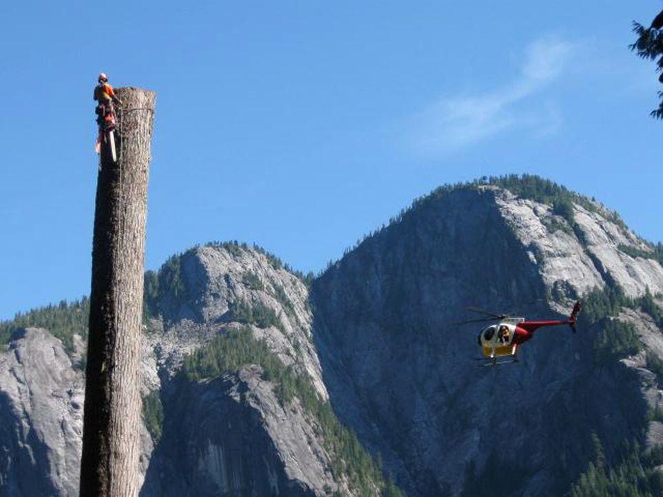 Die Holzfäller erklimmen mit Gurt und Steigeisen die bis zu 60 Meter hohen Bäume und kappen gewaltige Äste und Kronen in schwindelerregenden Höh... - Bildquelle: kabel eins