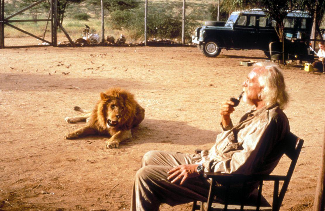 Lebt nur für seine Löwen: George Adamson (Richard Harris) ... - Bildquelle: Spartan Home Entertainment