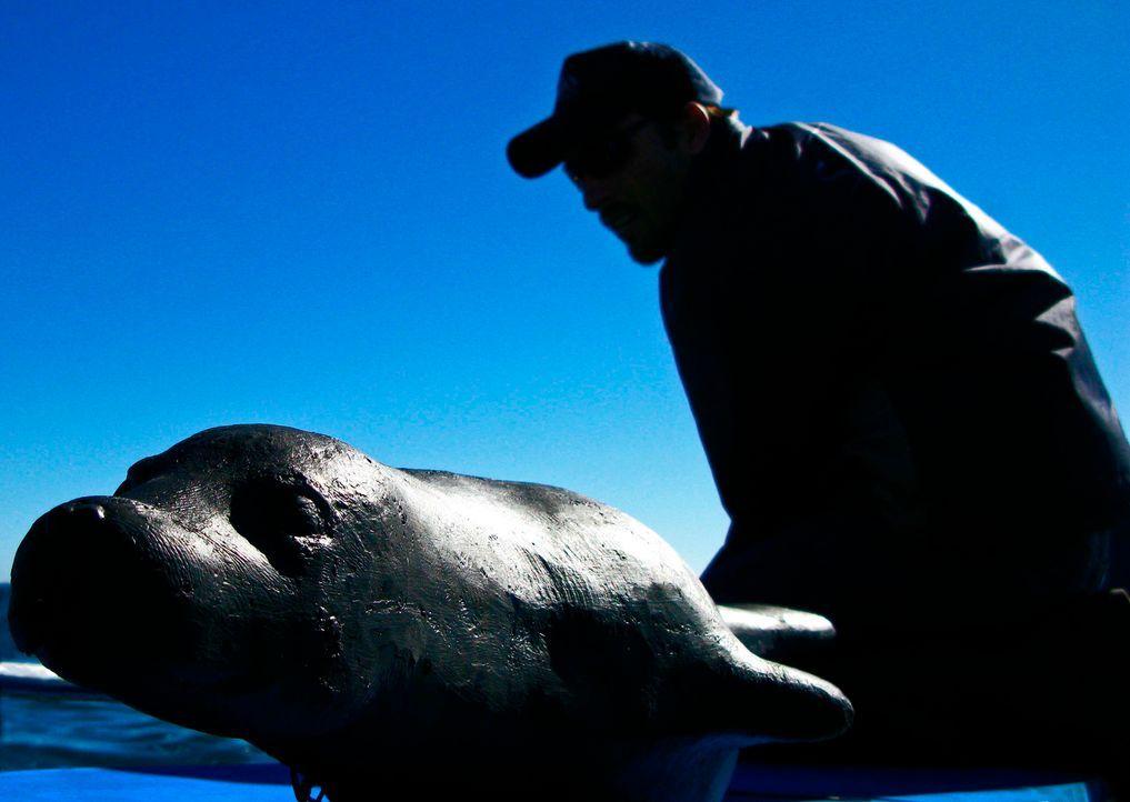 Mike Rutzen, einer der bekanntesten Hai-Taucher der Welt, bereitet einen Seelöwen als Köder für den Weißen Hai vor ... - Bildquelle: Johann Horjus JOHANN HORJUS