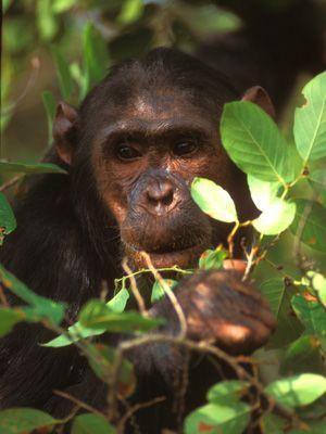 Schimpanse im Busch - Bildquelle: Richard Gress