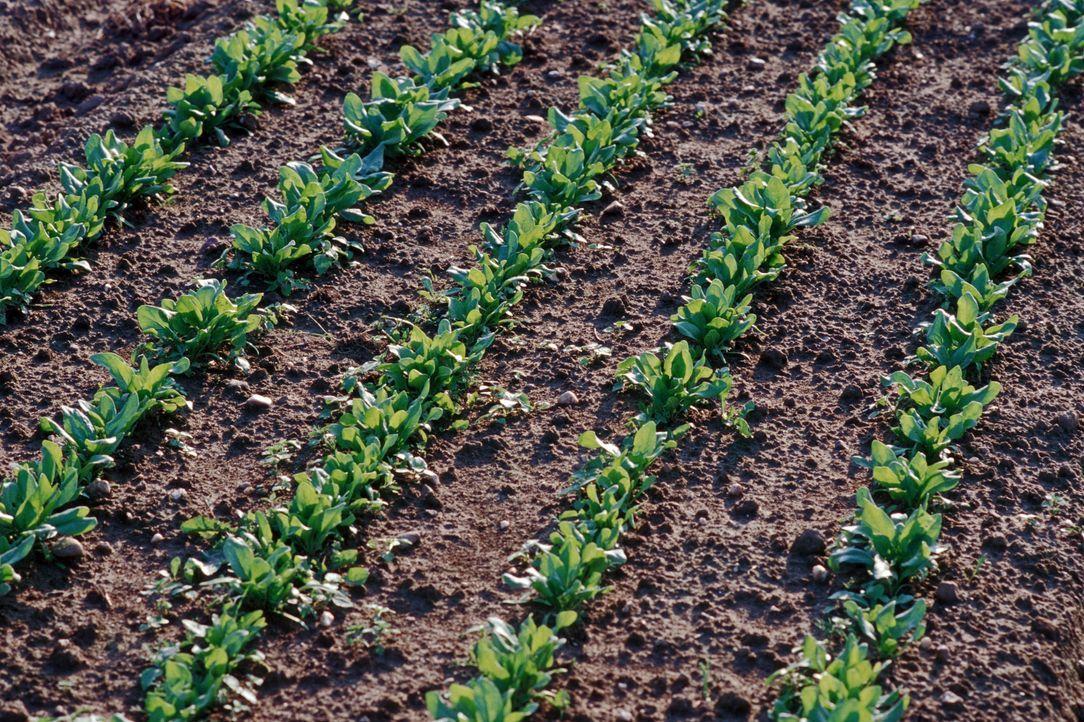Spinat ist besonders eisenreich - Bildquelle: dpa