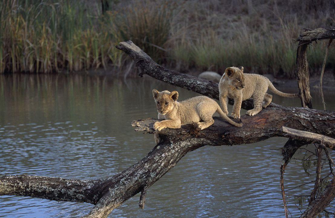 Die ersten Ausflüge fordern den zwei Löwenbabys Suki (l.) und Linus (r.) einiges ab ... - Bildquelle: John Downer John Downer Productions Ltd