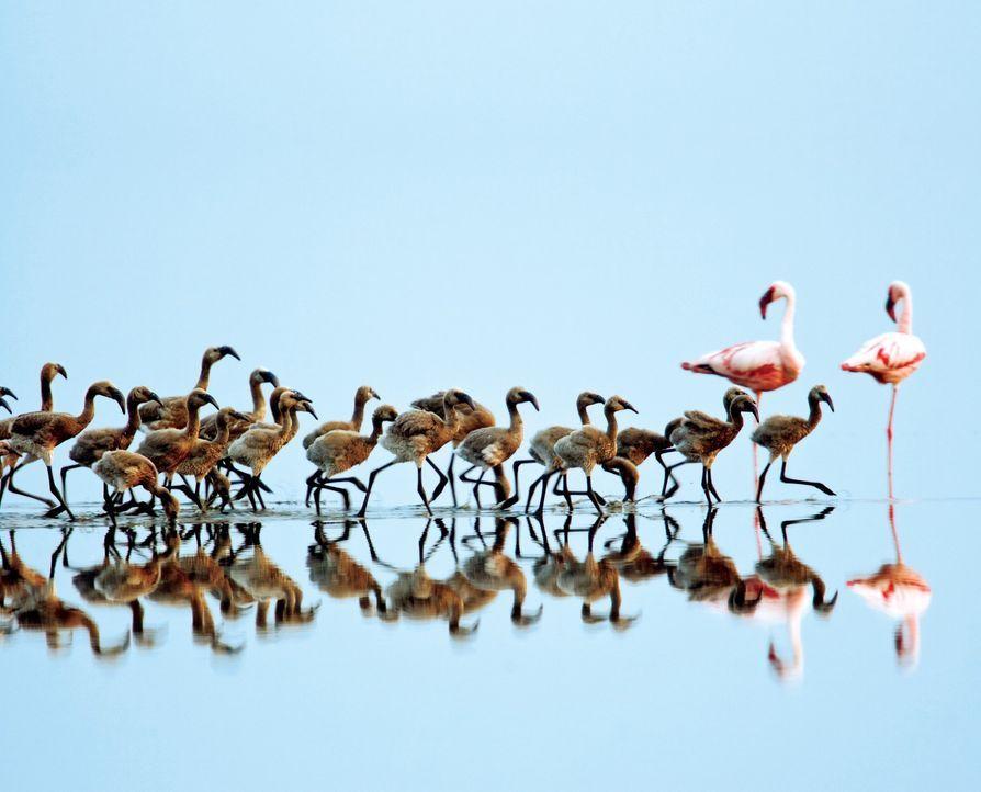 Im Norden Tansanias befindet sich ein entlegenes Naturparadies: der Natronsee. Die meiste Zeit des Jahres ist er ausgetrocknet. Nach einer kurzen Re... - Bildquelle: Disney Enterprises, Inc.  All rights reserved.