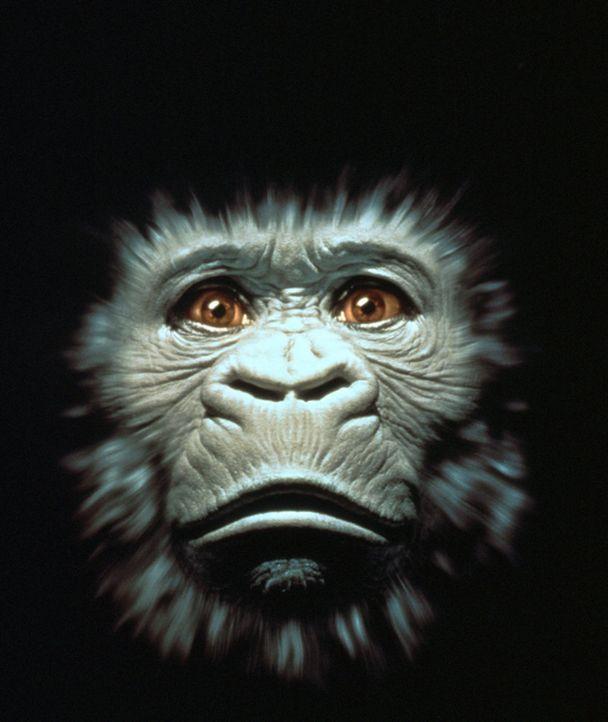"""Amy ist kein gewöhnlicher Gorilla: Ein Computer-Handschuh und 620 erlernte Zeichen ermöglichen es ihm, zu """"sprechen"""" ... - Bildquelle: Paramount Pictures"""