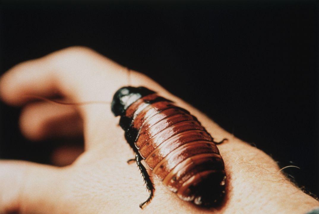 Nachdem sich die mutierten Kakerlaken im menschlichen Körper breitgemacht haben, benutzen sie diesen zur Aufzucht ihrer Brut. Kein schöner Anblick .... - Bildquelle: Kushner-Locke Company