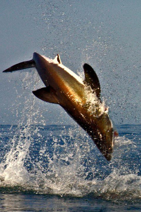Die Gewässer vor der Küste Südafrikas wimmeln von aufregenden Tieren. Zu diesen spektakulären Lebewesen gehört zweifellos auch der legendäre Weiße H... - Bildquelle: Mike Rutzen MIKE RUTZEN