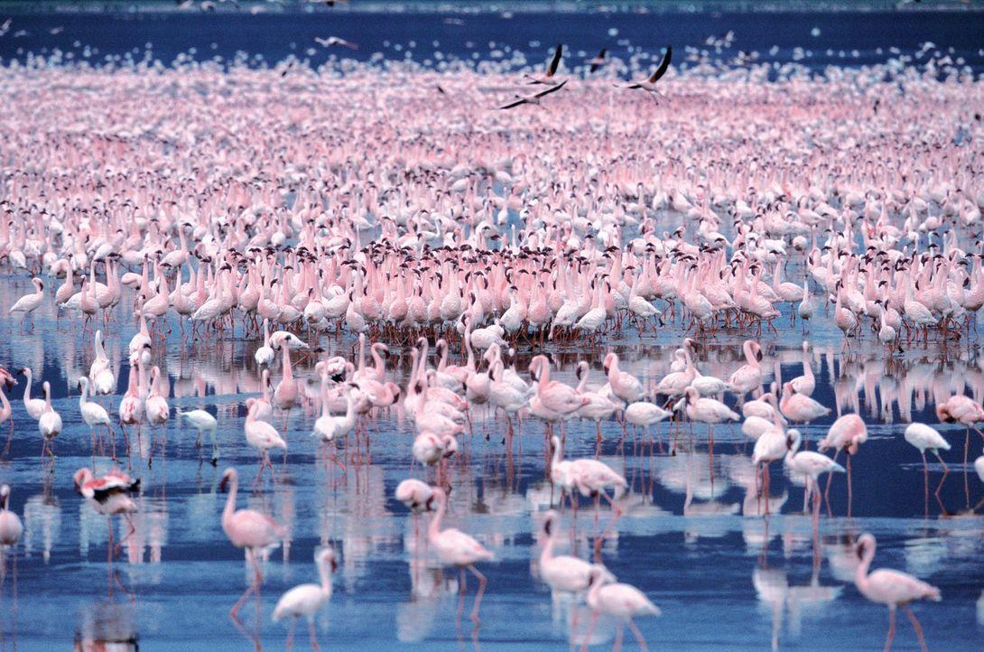 Jedes Jahr aufs Neue kommen Flamingos in Scharen zum Natronsee in Tansania, um sich zu paaren und ihre Jungen großzuziehen ... - Bildquelle: Disney Enterprises, Inc.  All rights reserved.