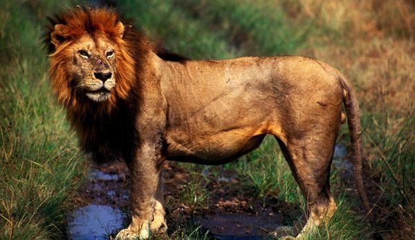 Löwenmännchen - Bildquelle: Richard Gress