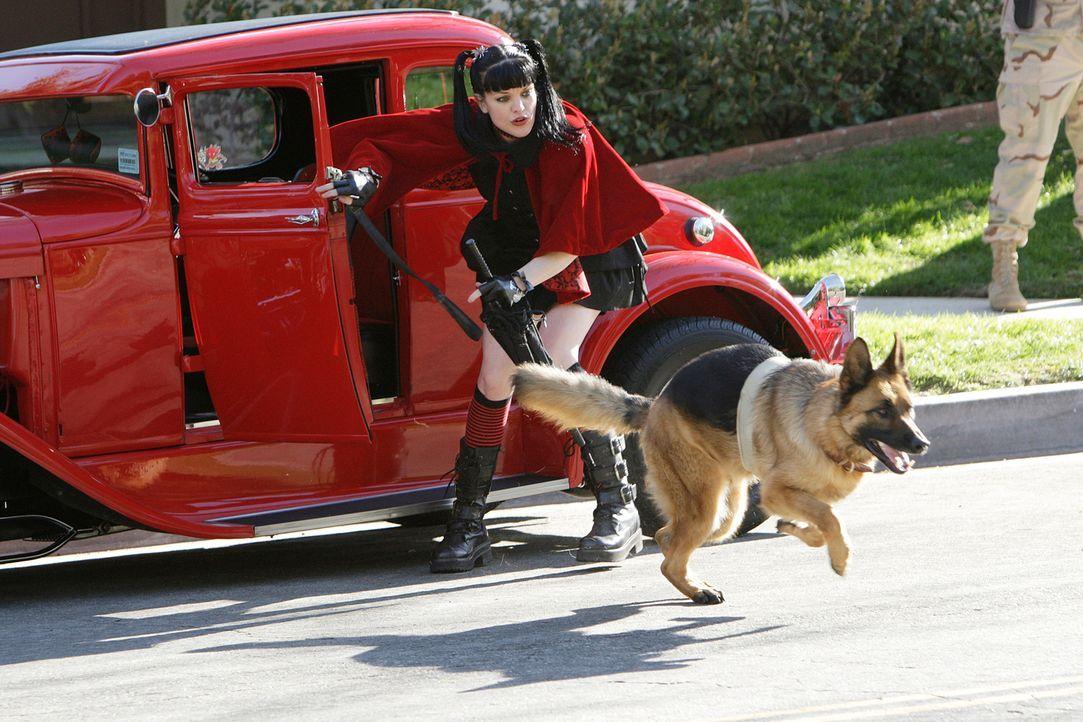 Da der Hund, den McGee in Notwehr  angeschossen hat, voller Spuren ist, bringt er ihn zu  Abby (Pauly Perrette), die sich daraufhin sofort in das Ti... - Bildquelle: CBS Television