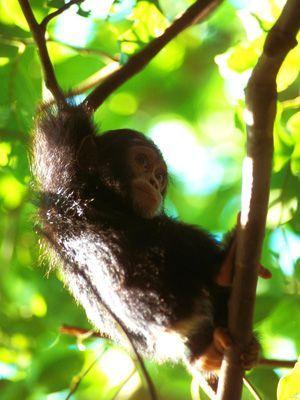 Schimpansenbaby - Bildquelle: Richard Gress