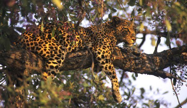 Leopard - Bildquelle: Richard Gress