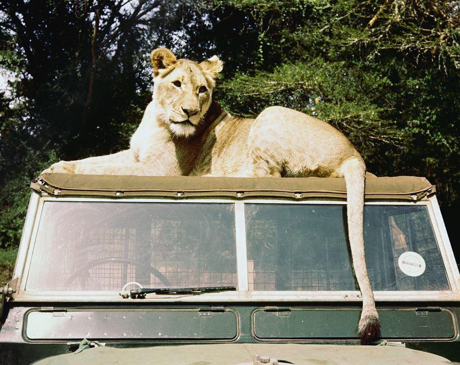 Ein Wildhüter-Ehepaar nimmt drei mutterlose Löwenbabies auf und zieht sie groß. Zu dem jüngsten, der Löwin Elsa (Bild), entsteht bald eine echt... - Bildquelle: 1965, renewed 1993 Columbia Pictures Industries, Inc. All Rights Reserved.