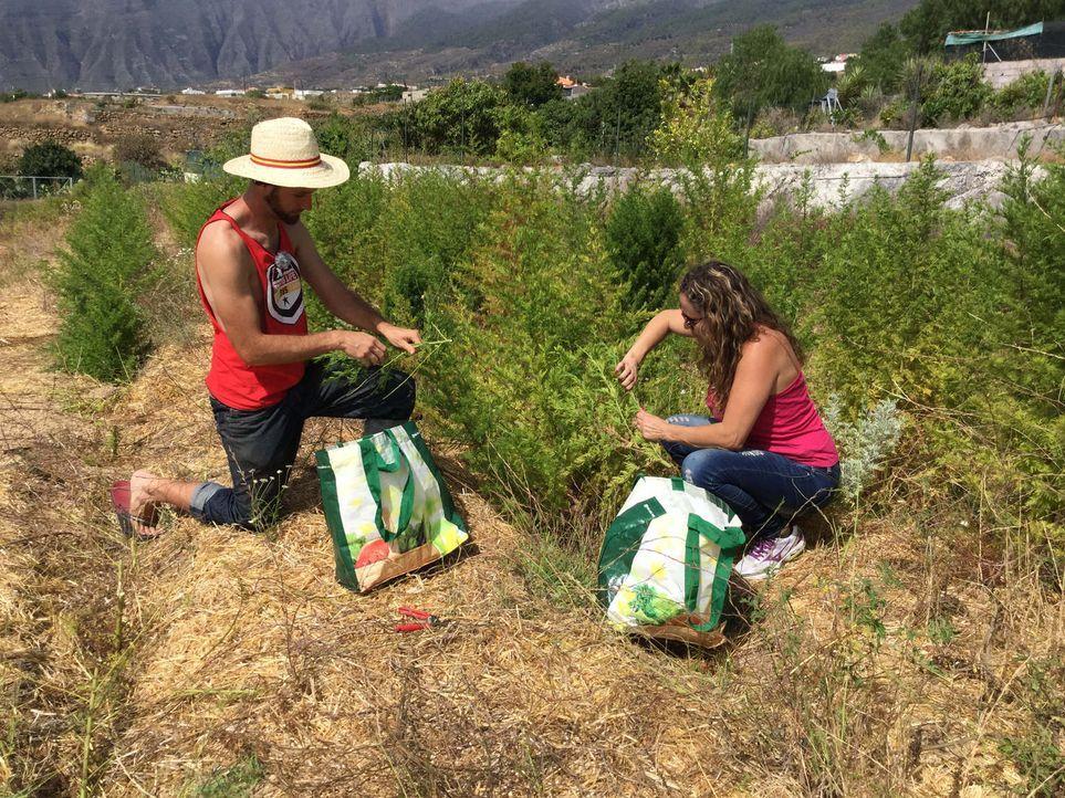 Alle Hände voll zu tun: Selbst Curro Cachineros (l.) Freundin (r.) packt bei der Ernte mit an, damit das Unternehmen ein Erfolg wird. - Bildquelle: kabel eins