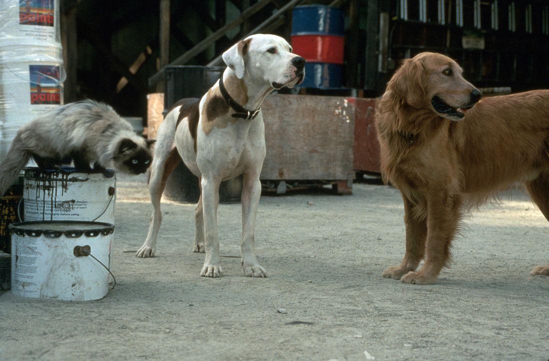Dogge Chance, Golden-Retriever Shadow und Siamkatze Sassy erleben ein aufregendes Abenteuer in San Francisco. - Bildquelle: Walt Disney Pictures
