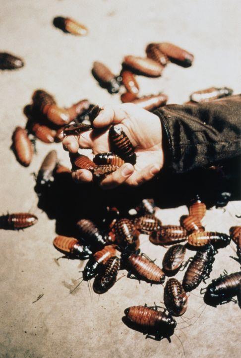 Zunächst erkennt nur begreift Dr. Ben Cahill die Gefahr, die der Bevölkerung droht, denn diese Kakerlaken töten nicht nur den Menschen, sondern nutz... - Bildquelle: Kushner-Locke Company