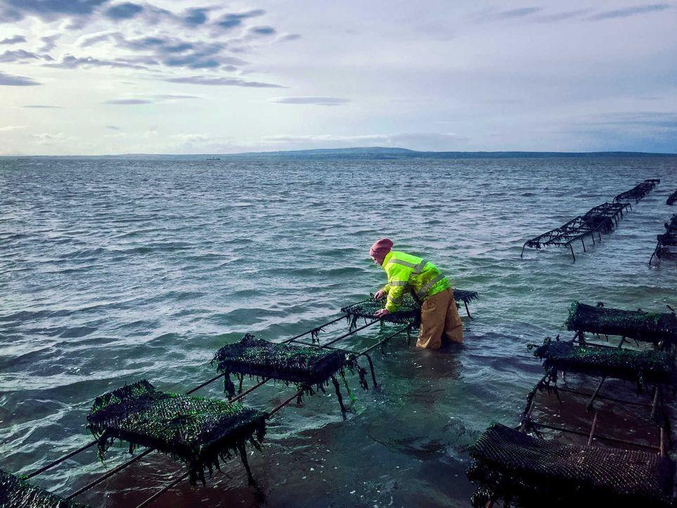 Der Chef der irischen Austernfarm verlangt seinen Mitarbeitern so einiges ab: Sie arbeiten Tag und Nacht und verteilen die 10 Kilogramm schweren Aus... - Bildquelle: kabel eins