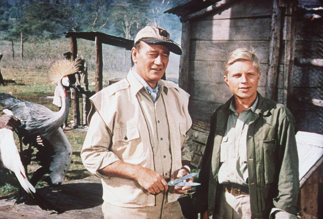 Der Amerikaner Sean Mercer (John Wayne, l.), der nach einer unglücklich verlaufenen Liebesaffäre in den Busch kam, und Kurt Stahl (Hardy Krüger,... - Bildquelle: Paramount Pictures