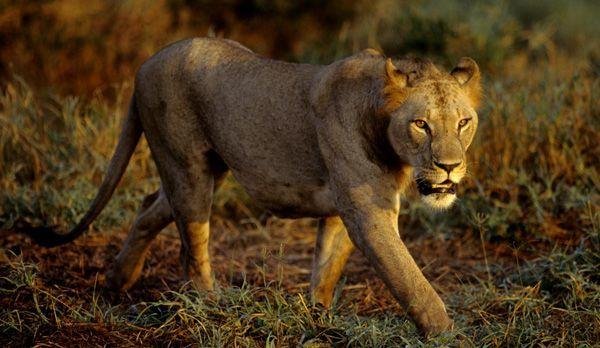 Löwenmännchen jung - Bildquelle: Richard Gress