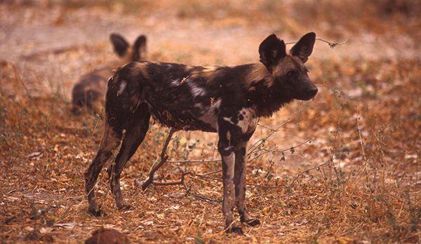 Afrikanischer Wildhund - Bildquelle: Richard Gress