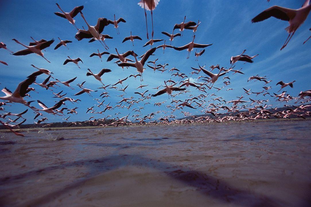 Die Flamingo-Familien verweilen am See, bis die Küken fliegen können. Dann ziehen sie weiter, auf der Suche nach neuen feuchten Gegenden, da der See... - Bildquelle: Disney Enterprises, Inc.  All rights reserved.