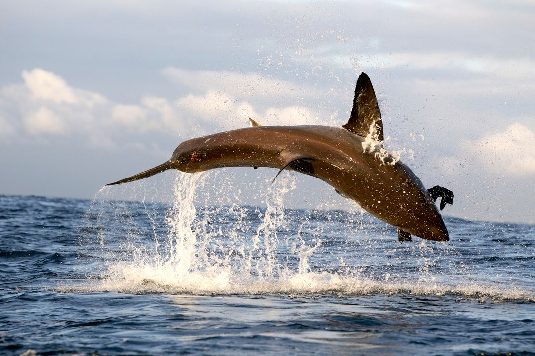 """Dokumentarfilmer Jeff Kurr gelangen einzigartige Aufnahmen von """"Colossus"""", einem Riesenhai, der in den Gewässern vor der Küste Südafrikas lebt, über... - Bildquelle: Chris Fallows Discovery Channel"""