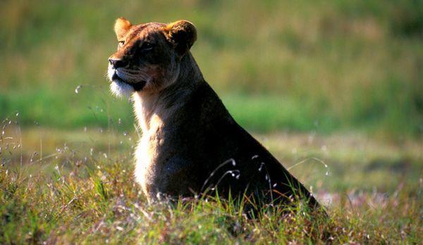 Löwin - Bildquelle: Richard Gress