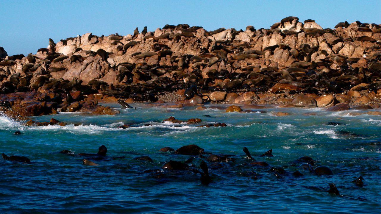 In Sicherheit: Auf dem Geyser Rock finden die Seehunde Zuflucht vor dem Angriff des Weißen Hais ... - Bildquelle: Johann Horjus JOHANN HORJUS