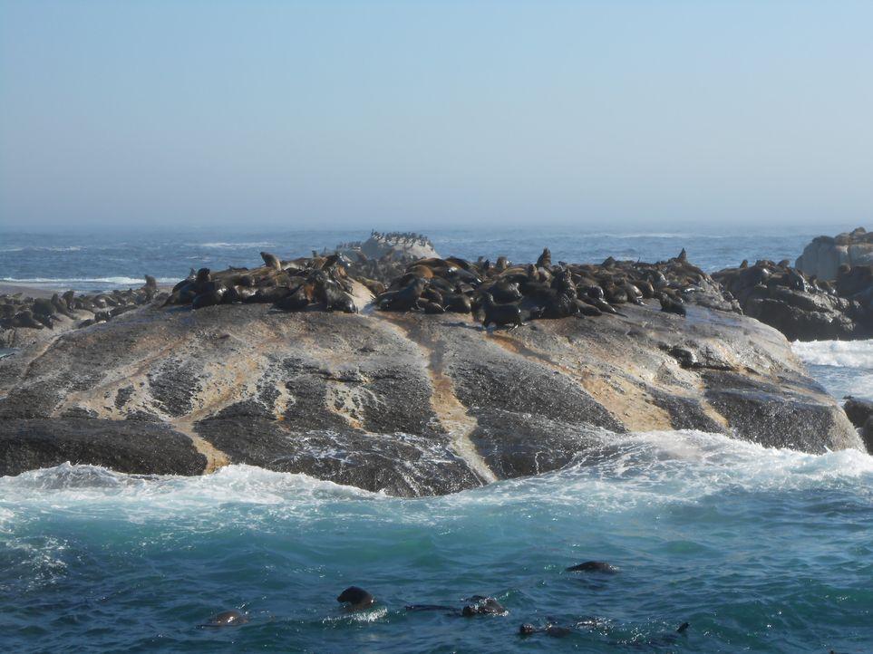 Friedlich sonnen sich die Seehunde auf den Felsen vor der südafrikanischen Küste. Kaum vorstellbar, dass hier Im April 2013 ein gefährlicher Riesenh... - Bildquelle: Brian Girard / Kris Olson Discovery Channel