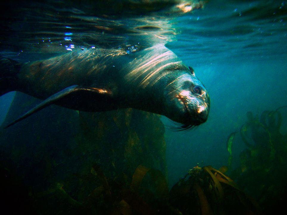 Die Seelöwen in den Gewässern vor der südafrikanischen Küste gehören zu den Beutetieren des berüchtigten Weißen Hais ... - Bildquelle: Morne Hardenberg MORNE HARDENBERG