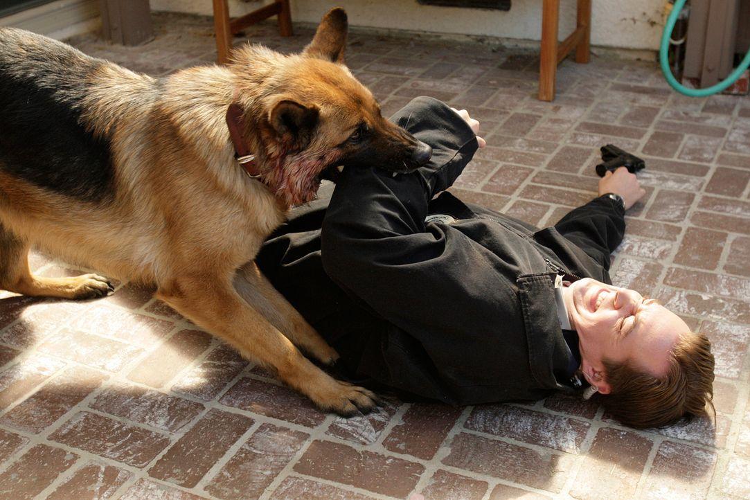 """Das Team ermittelt in einem Fall von Drogenschmuggel. Beim Erstürmen eines Hauses wird McGee (Sean Murray) vom """"wachhabenden"""" Schäferhund angegriffe... - Bildquelle: CBS Television"""