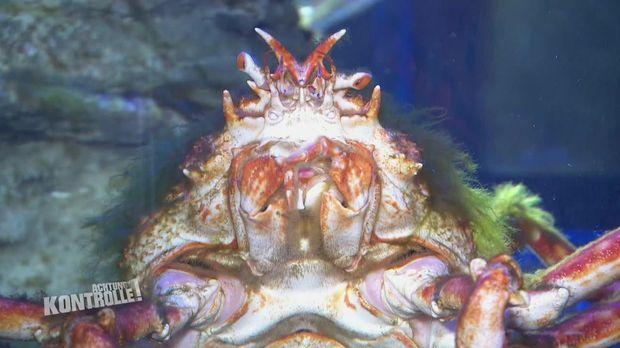 Achtung Kontrolle - Achtung Kontrolle! - Thema U.a.: Krabben Auf Abwegen - Sea Life Transport