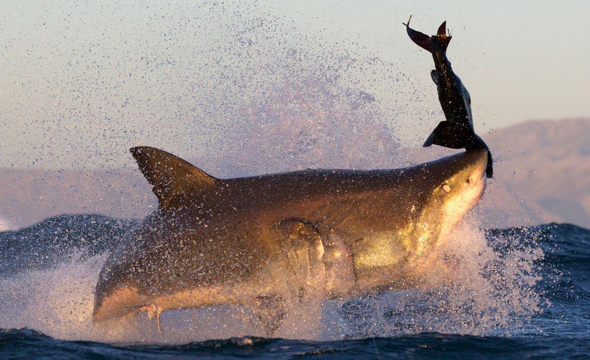 """Dokumentarfilmer Jeff Kurr gelangen einzigartige Aufnahmen von """"Colossus"""", einem Riesenhai, der in den Gewässern vor der Küste Südafrikas lebt und a... - Bildquelle: Chris Fallows Discovery Channel"""