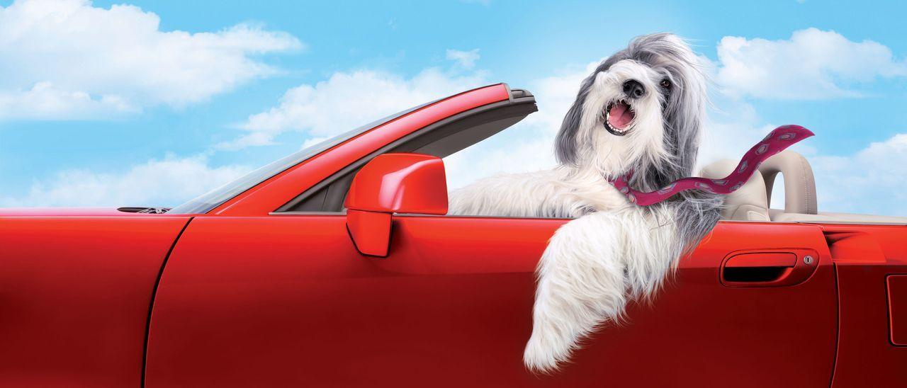 Durch einen Zufall wird Dave von dem Hirtenhund Shaggy gebissen - mit der Wirkung, dass sich der Familienvater fortan wie ein zotteliger Vierbeiner... - Bildquelle: Disney Enterprises, Inc. All rights reserved